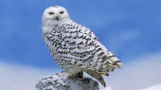 snowy owls pose major risk to US airfields